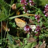 Fjärilar och flyn