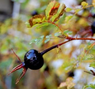 Frukt av vit nypon