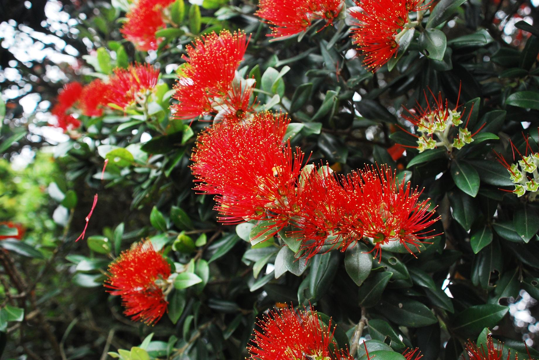 Pohutukawa eller Christmas tree
