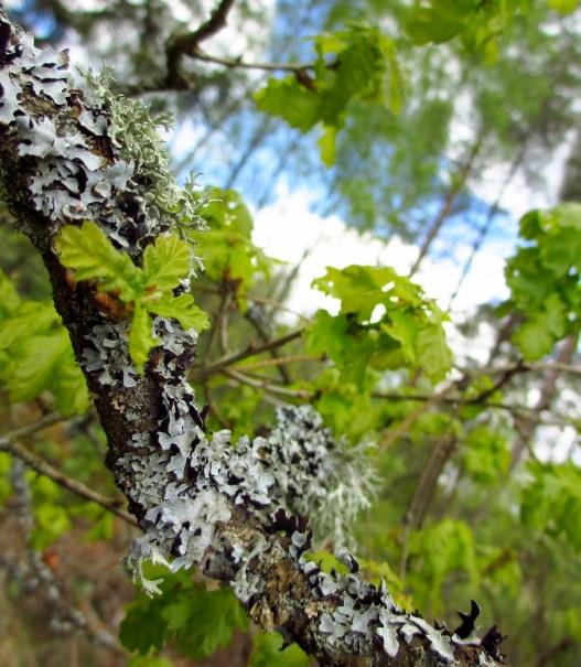 Ekens späda blad mot redan livserfaren gren