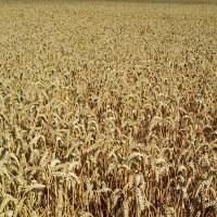 Råg, korn, havre eller vete