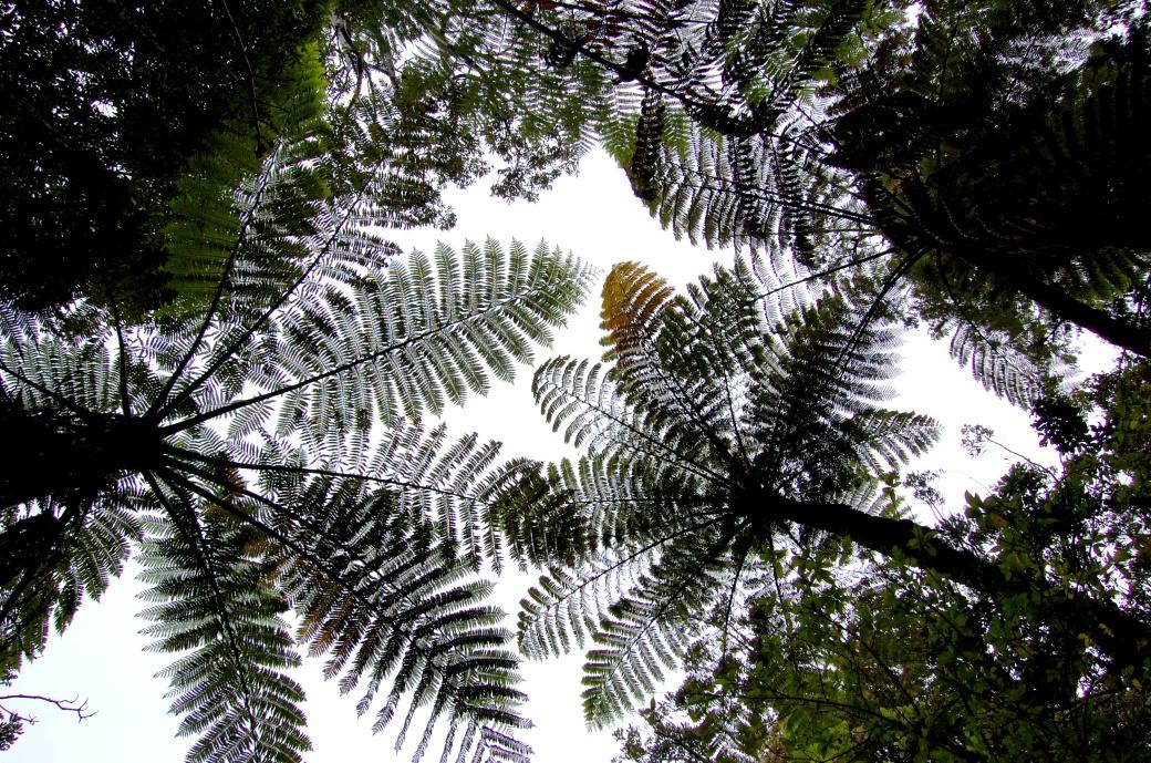 Great tree ferns, New Zeeland, North Island.