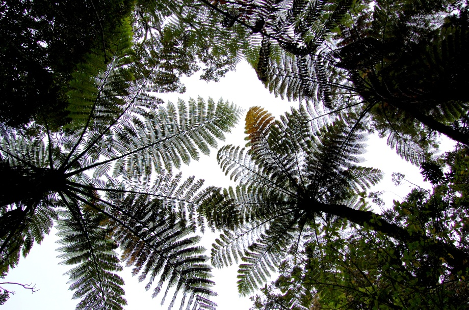 Great tree ferns, New Zeeland, North Island.