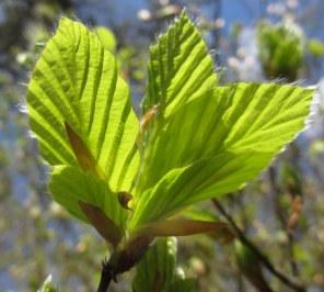 Sweden, spring beech