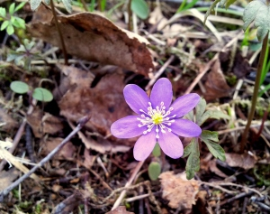 But finally, starting with anemone hepatica