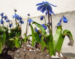 ...battered and broken by frost, the scilla rises