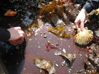 Några är lyckliga upphittare av en hel kamsnäcka.Some are lucky to find a comb shell