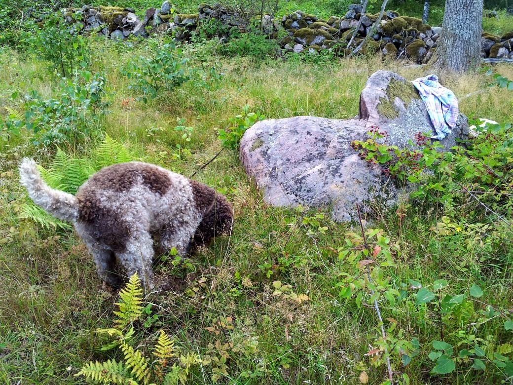 Björnbär och hundar 2013 014