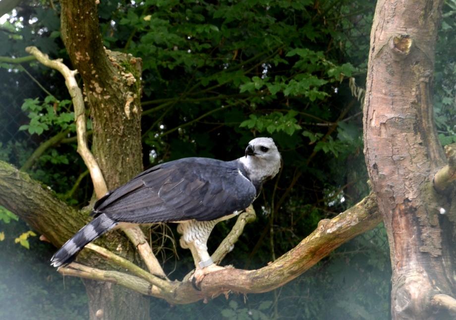 Harpy Eagle (Americas)