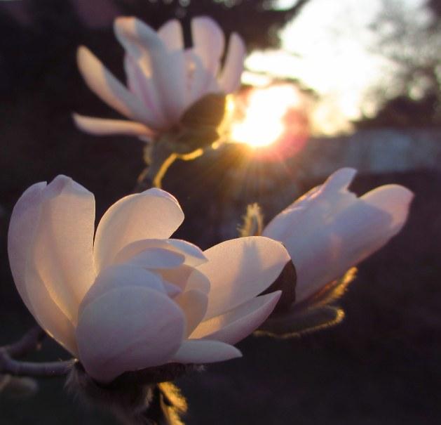 Mera magnolia i kvällen 031