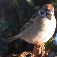Varför vinner Pilfinken? - Eurasian Tree Sparrows - why are they the winners?