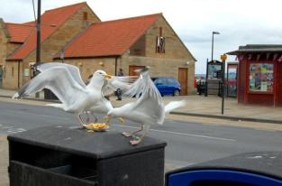 Gull fight