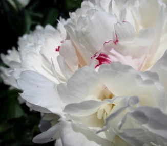 Peony from the Garden of Scent