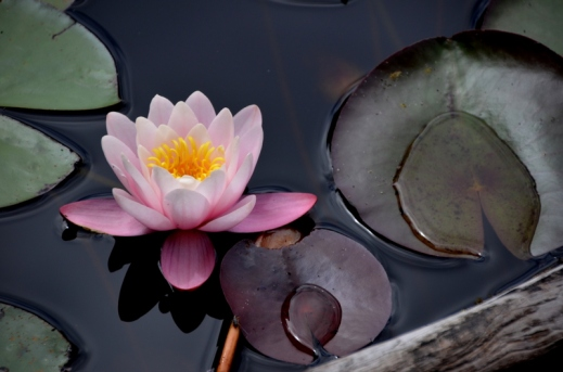Waterlilies cover the little lake