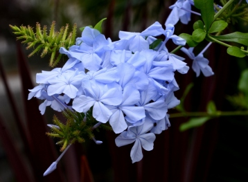 Blue and white plumbago - an old favourite in my home