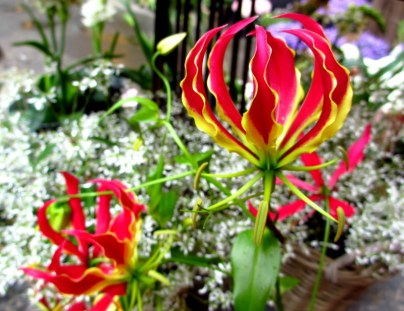 Gloriosa - flame lily or fire lily