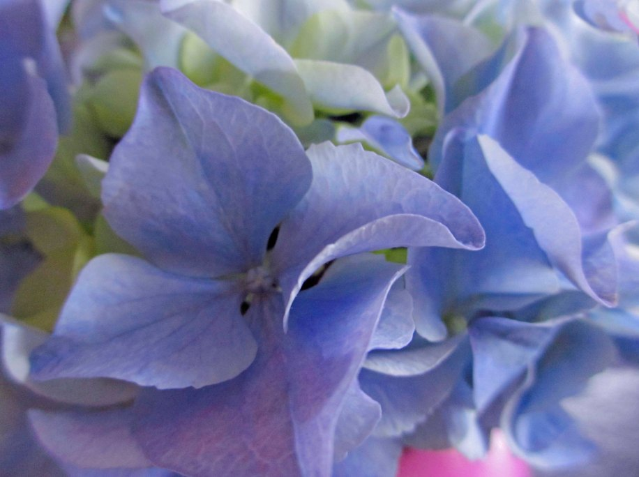 My glorious hydrangea will flower for weeks - only a few faces have shown themselves so far