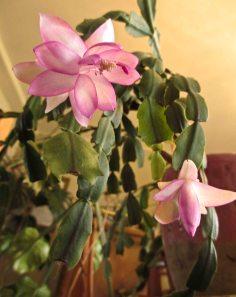 Inherited pink cactus
