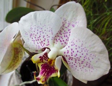 Phalaenopsis bought on Madeira 1990