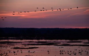 ...injured ones as well as a night waiting for live cranes in thousands to fly down to the lake Hornborgasjön