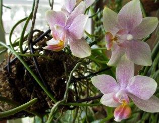 A mini again. About 2cm flowers