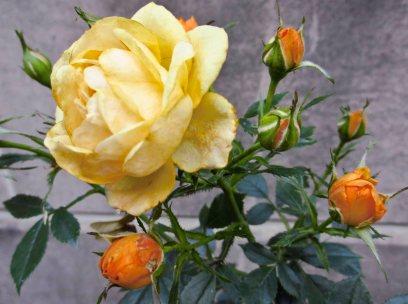 Danish rose