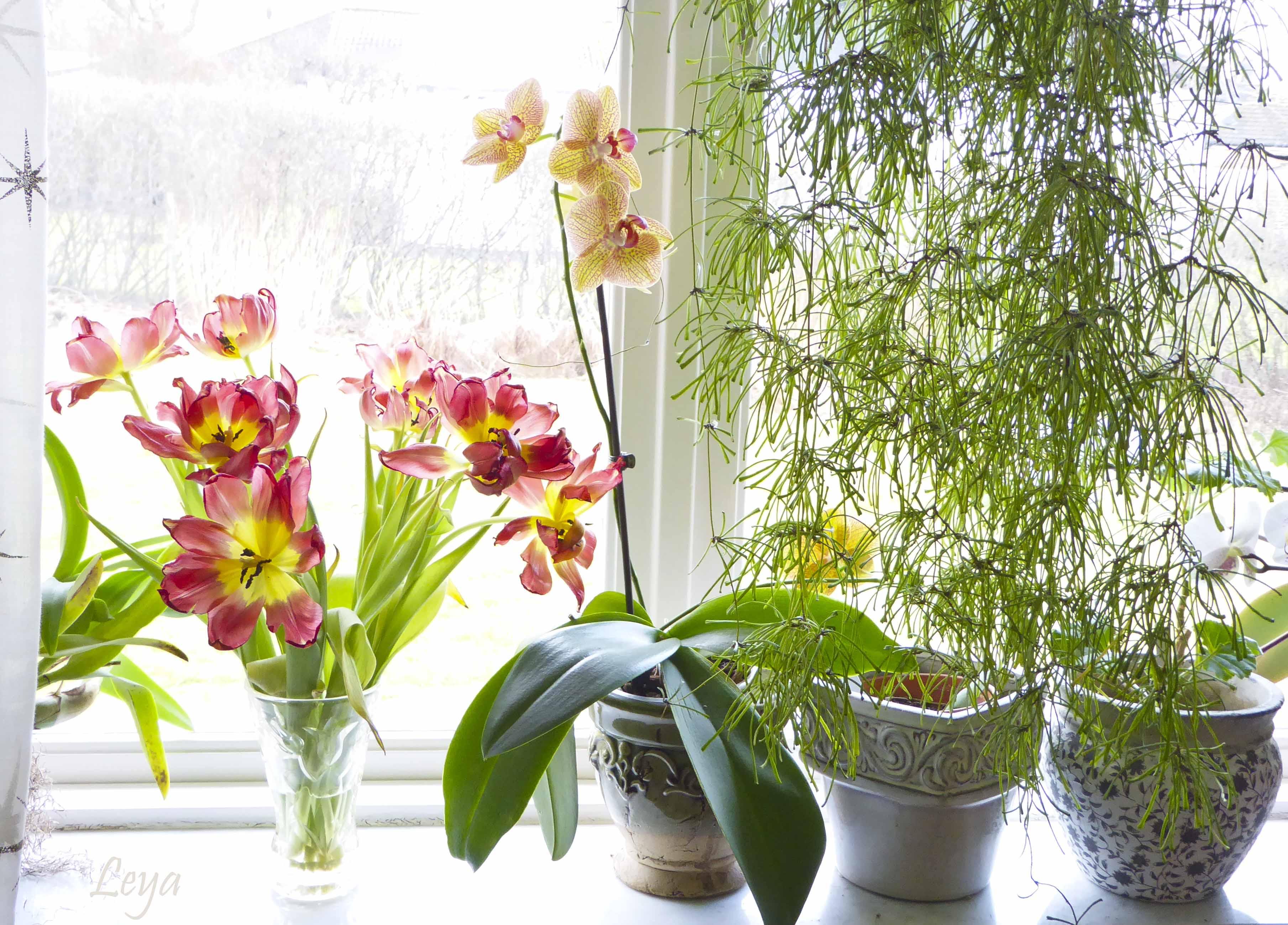 Högdagerbilder på husets blomning 159_copy