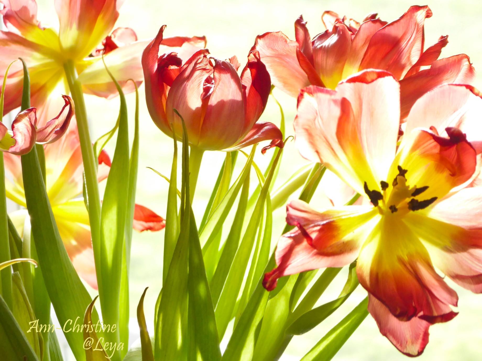 Högdagerbilder på husets blomning 232_copy