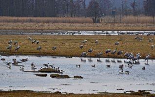 1700 cranes at Pulken, Skåne, this morning