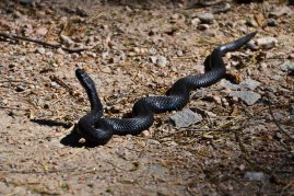 Viper...the only poisonous snake in Sweden