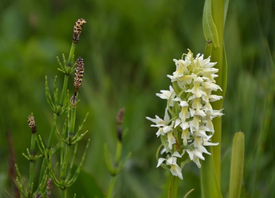 Åraslövs mosse orkideer 034_copy