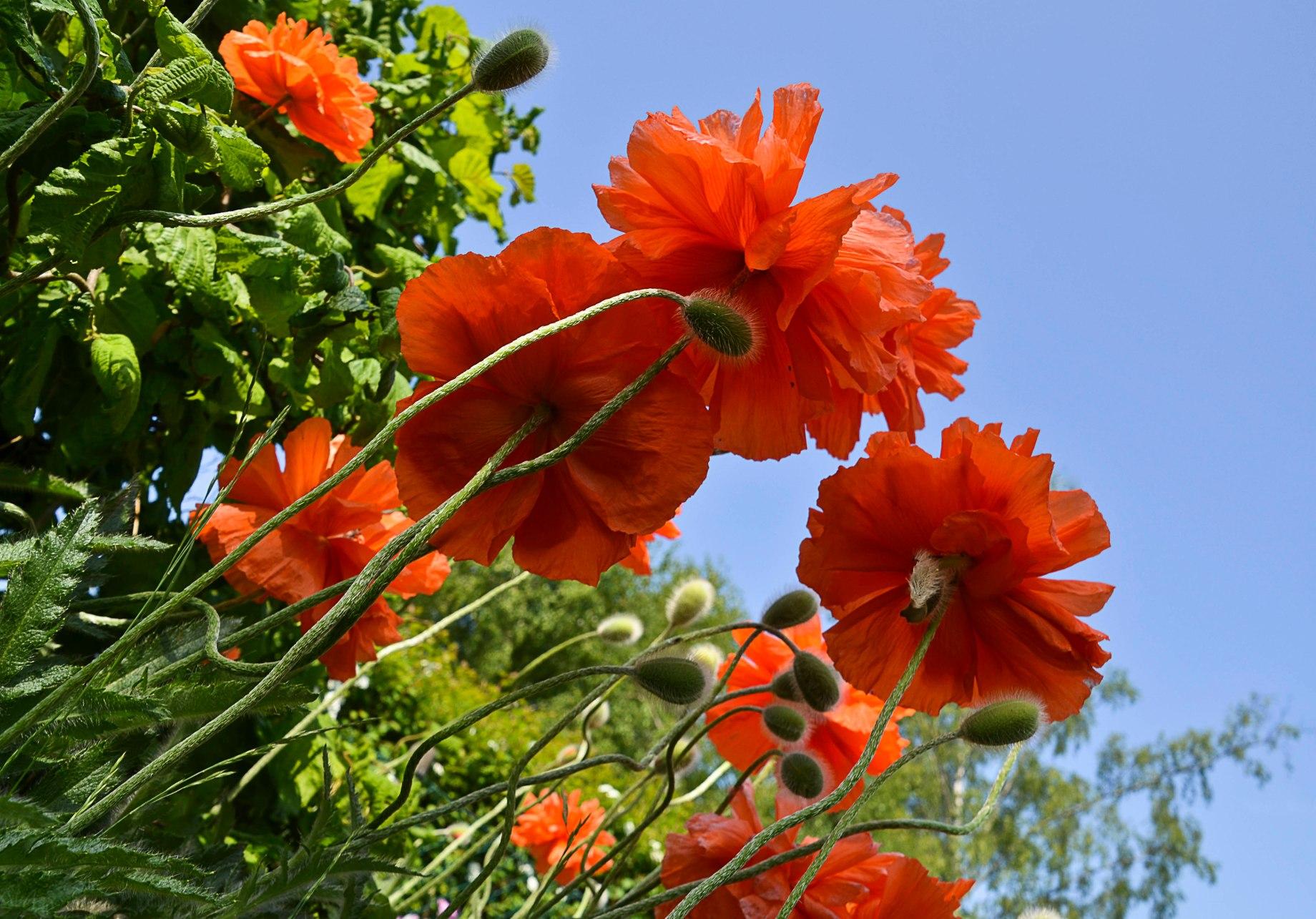 Trädgårdsblommor Maj 063_copy