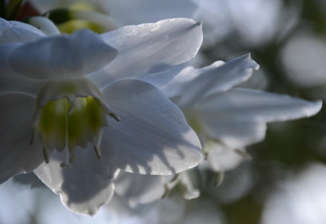 amazonliljan-blommar-2016-071_copy