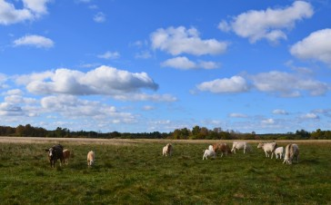 Cows and clouds work well together
