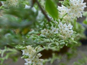 Hoya linearis - Himalaya