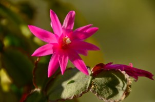 Easter Cactus - in flower now, very intense
