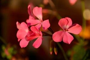 Geranium of 2016 - Caliente Pink