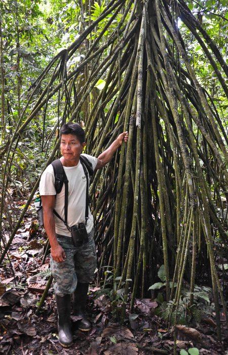 Iron palm or walking palm