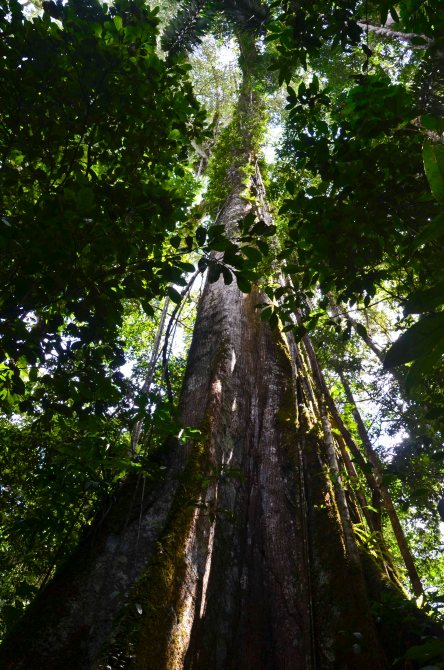 Giant, sacred kapok tree