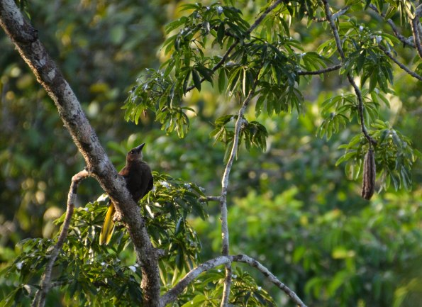 Do you hear a loud, cartoonish water-droplet noise? A Russet backed Oropendola! (The oriole family)