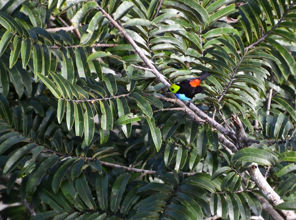 Paradise Tanager - maybe 15 fluttering neonlights all over this tree!