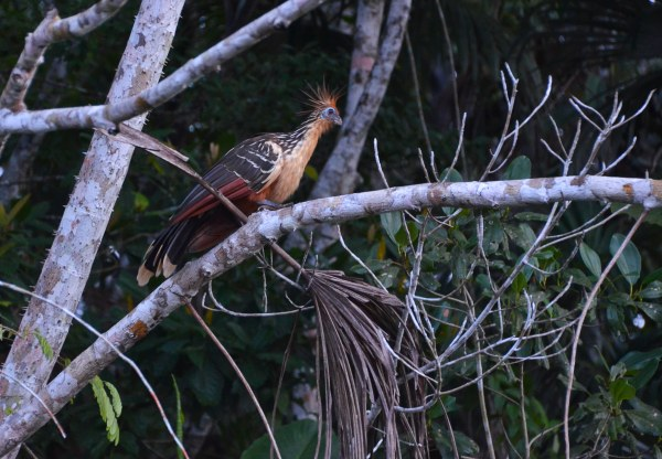 A short canoe ride on the little lake Pilchicocha - Stinky Turkey, the most typical of the Amazon birds