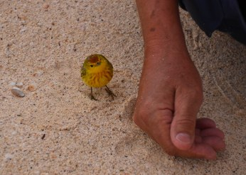 This yellow warbler was questioning my husband...
