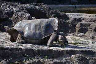There are two distinct carapace shapes: the dome - shaped and in this picture, the saddle - backed tortoise