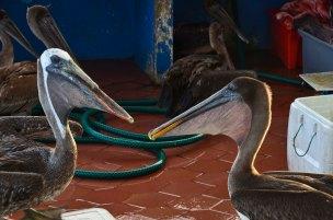 The left brown pelican has lost his upper beak - I wonder how he managed...