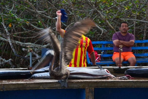 People worked patiently to filet and to sell and buy - but this pelican took it one step too far...