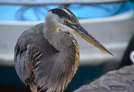 Needle sharp eyes of the blue heron, waiting to strike...