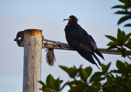 The Great Frigate birds are tough guys who always steal their dinners...