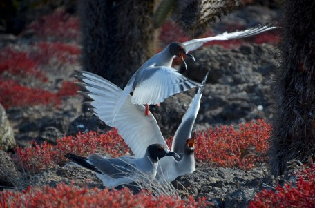 Adult Swallow - tailed Gulls fighting