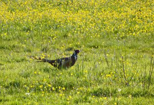 Hiding in the buttercup field - a pheasant